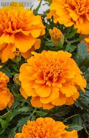 Pretty Orange Marigold Chica Orange Orange Flowers Seeds And Plants