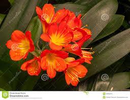 south carolina native plants natal lily stock photo image 50092916