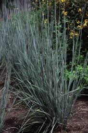 13 terrific grasses ornamental grasses planting and