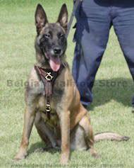 belgian shepherd how to train belgian malinois harness belgian malinois dog muzzle belgian