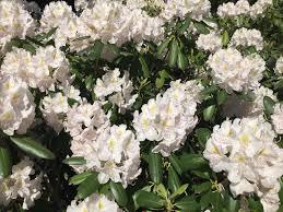 White Roses For Sale 100 White Roses For Sale Black Roses For Sale Burgundy