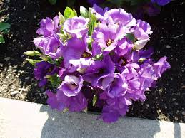 eustoma forever blue f1 all america selections