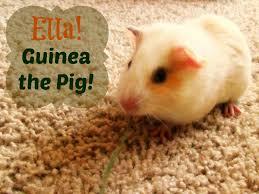 ella guinea the pig backyard brilliant