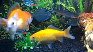 membuat aquascape bening aquarium dengan filter undergravel youtube