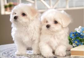 bichon frise intelligence the bichon frise went from a noble dog to a common one
