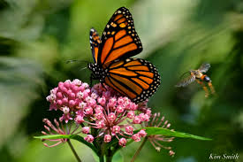 monarch butterfly in crisis on the wing