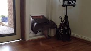 Cat Door For Interior Door Ruby The Wombat Using The Cat Door Youtube