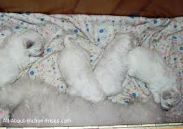 bichon frise good and bad list of small dog breeds that are popular all about bichon frises