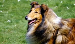 bearded collie mdr1 collie dog breed information