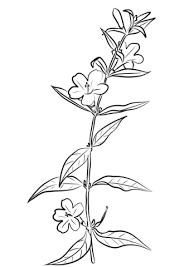 carolina jasmine gelsemium sempervirens coloring free