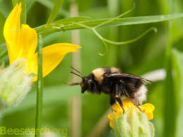 six legged bigfoot the fall and rise of the western bumblebee