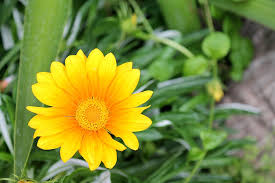 Family Garden - free photo garden flowers gazania harsh gazania aster family max