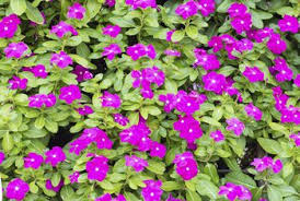vinca flower how to take care of vinca flowers home guides sf gate