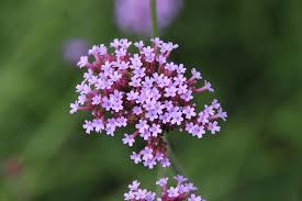 Verbena Flower Free Images Nature Blossom Flower Herb Botany Flora