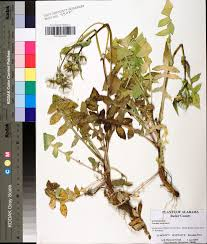 Radford University Map Sonchus Oleraceus Species Page Apa Alabama Plant Atlas