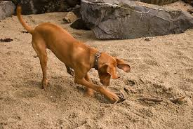 Can You Bury Animals In Your Backyard How To Train Your Dog To Stop Digging Pethelpful