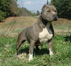 blue american pitbull terrier 19 best pitbulls images on pinterest animals beautiful dogs and
