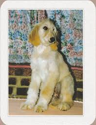 does an afghan hound shed afghan hound baby afghan hounds puppies pinterest afghan