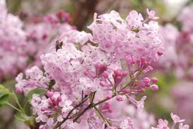 stock photo showcase archives opened and unopened pink lilac