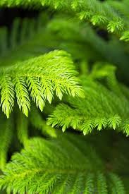 Nurturing Norfolk Island Pines Year Round