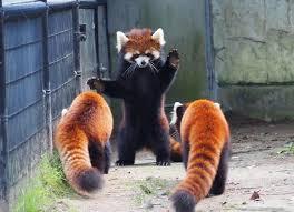 it s everyone s favorite day red panda monday album on imgur
