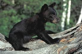 black bear tn gov