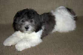 bichon frise and a shih tzu shichon teddy bear shih tzu bichon mix info temperament