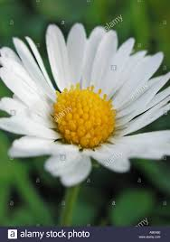 common name daisy latin name daisy stock photo royalty free image