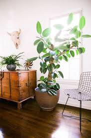 best 25 rubber tree ideas on pinterest rubber plant indoor 7 ways to bring relaxed california cool design to your home