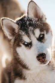 59 best siberian husky images on pinterest animals siberian