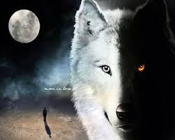 half black half white wolf wolves wolf and