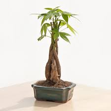 money tree small indoor office plants by plant type