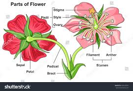 Style Flower Part - flower parts diagram front back view stock vector 649610932