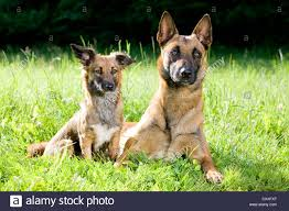 belgian sheepdog clipart malinois mongrel stock photos u0026 malinois mongrel stock images alamy