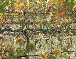 Trellis Wine Smart Dyson A Trellis System For Improved Yield And Wine Quality