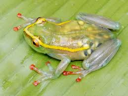 pictures see through frog other