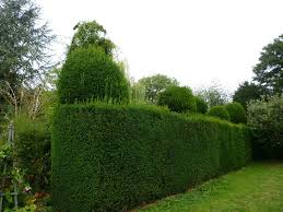 Yew Topiary - special branch tree surgeons maidenhead berkshire