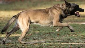 belgian malinois k9 attack scarred behind the bites a permissive policy