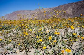 anza borrego wildflowers wildflowers in anza borrego where to find them california