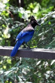 backyard wildlife color of the week blue the national wildlife