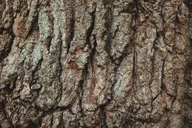 White Oak Bark Free Stock Photo Of Bark English Oak French Oak