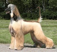 afghan hound gif afghan hound pups for sale pedigree email shougerat mail ru