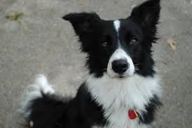 australian shepherd x border collie puppies can you tell if puppies will have erect ears or not siberian
