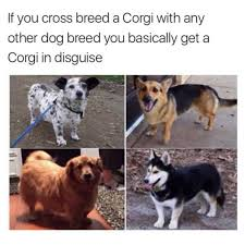 dopl3r com memes if you cross breed a corgi with any other dog