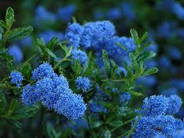 california blue best 25 xeriscape california ideas on water tolerant