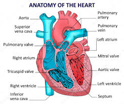 Heart Anatomy And Function Anatomy Of Mitral Valve Images Learn Human Anatomy Image