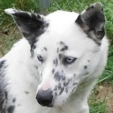 australian shepherd quesnel dude australian cattle dog pitbull mix dogs pinterest