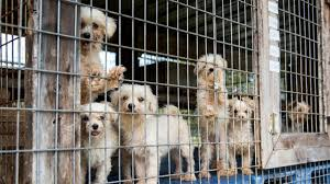 the terrible conditions of u0027dog factories u0027 inside the us