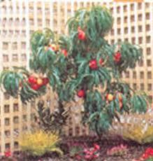 prunus persica trixzie miniature fruit tree nectazee