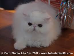 studio persiani gatto persiano bianco petpassion